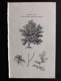 John Loudon 1838 Antique Botanical Tree Print. Heart-Shaped Leaved deciduous Magnolia